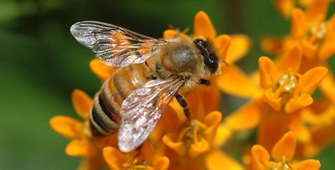 Собиратели нектара умеют считать и различать лица людей. А вот с известными пчелиными танцами всё оказалось сложнее, чем представлялось. В то же время колоссальных излишков клеток для исполнения массы отличных действий у них нет. Неудивительно, что пчёлам приходится перестраивать мозг под разные миссии внутри улья (фото M.F. O'Brien).